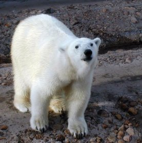 Snowball the polar bear